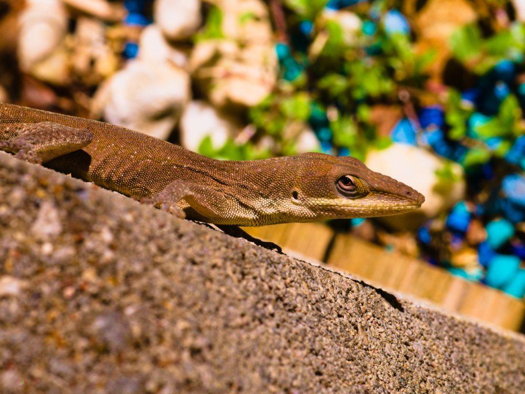 Small brown lizard